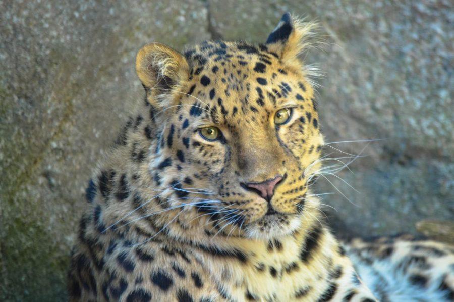 Leopard by Trevor Metz '19