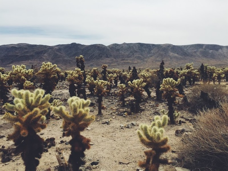 Joshua Tree Cactus Garden by Ruby Verrett 22'