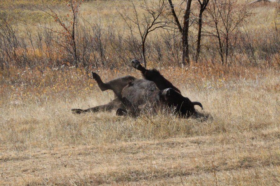 Happy Buffalo by Marin King